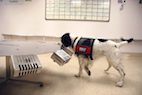 Cancer-Sniffing Dogs: Where Are We Today?