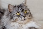 Toxoplasma Re-shedding Rates in Domestic Cats