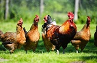 Campylobacter Clearance in Chickens: Role of the Immune System