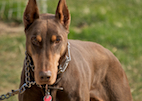 Lifetime Study Seeks Insight on Heart Disease in Dobermans