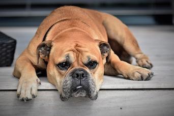 Dog CBD Oil OA