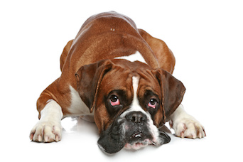 Dog Chronic Kidney Disease