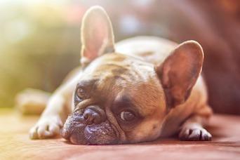 Hematuria in Dogs
