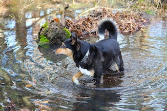 dog in flood waters