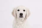Could Dogs Become the Source of the Next Flu Pandemic?