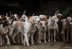 Research Links Tularemia to Hunting Dogs