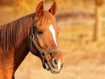HORSE CUSHING DISEASE