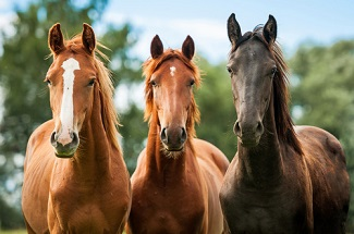 Welfare Quality and Stress in Working, Breeding Horses
