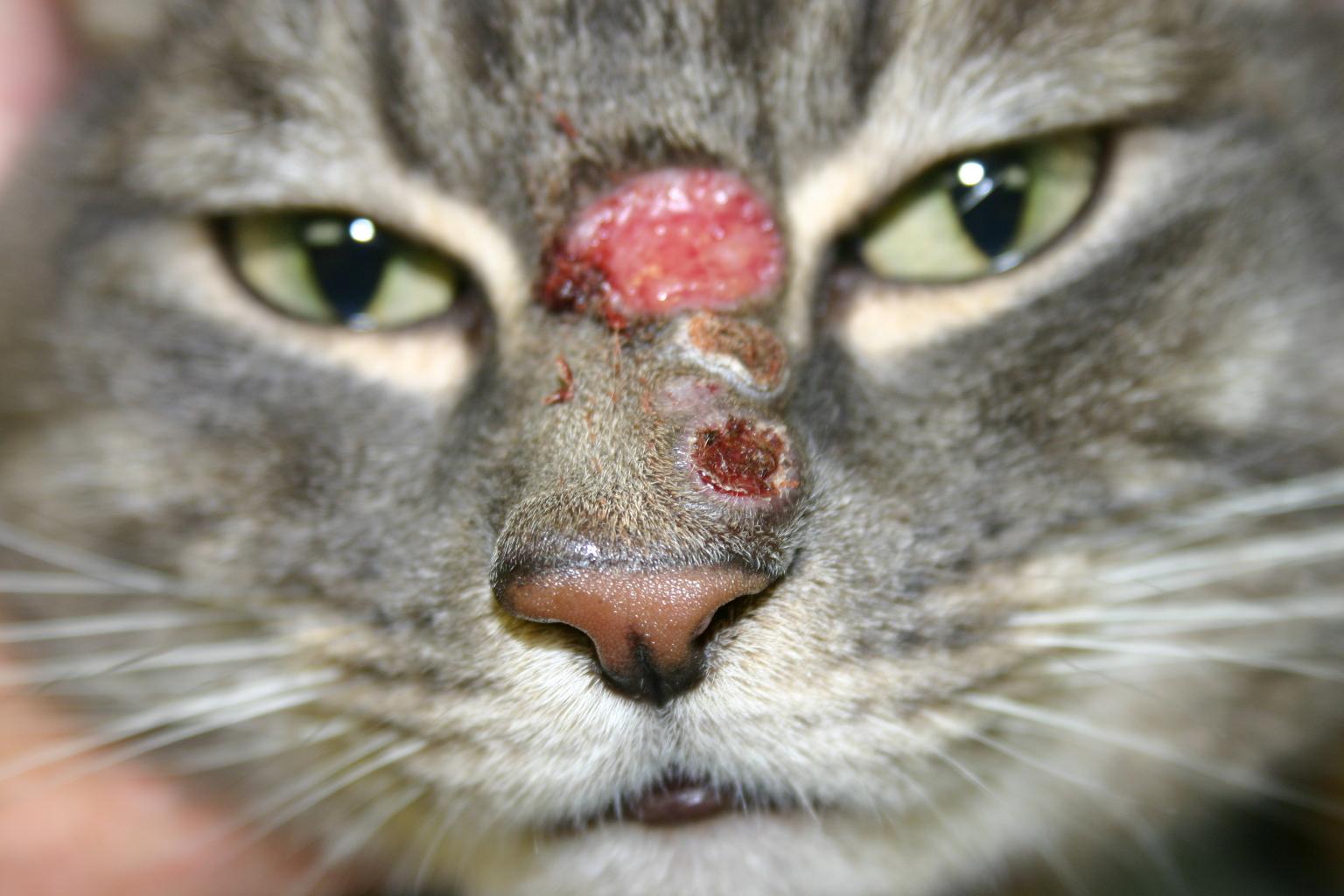 ACVC 2017: Understanding Skin Disease in Cats