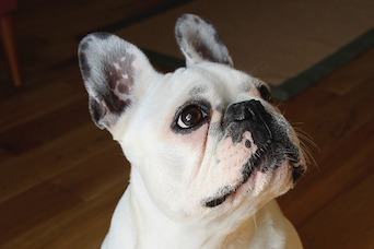 The Most Common Health Problems In French Bulldogs
