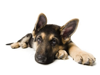 When Is the Best Time to Neuter German Shepherds?