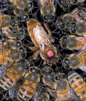 Honeybee Vaccine