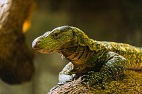 The Wound Healing Potential of Komodo Dragons