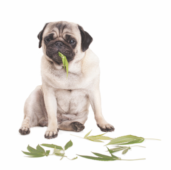 Marijuana Toxicity in Pets: Everything You Need to Know