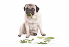 Marijuana Toxicity on the Rise Among Pets