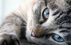 FDA Approves Transdermal Feline Appetite Stimulant