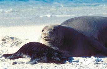 Monk Seal toxoplasmosis