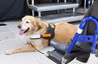 Functional MRI As an Early Predictor of Service Dog Work Suitability