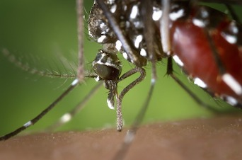 West Nile Mosquito