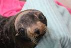 Surgery to Treat Hydrocephalus in a Seal Proves Successful