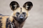 The Sneezes Have It: Rallying African Dog Pack Movement