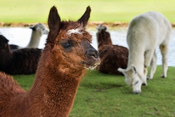 Alpaca Camelid Alternative Study