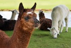 A Faster, More Reliable Way to Create Prized Camelid Antibodies