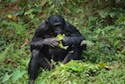 Bonobos or Chimpanzees: Which Are Our Closer Relatives?