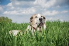 Link Between Birth Month and Canine Heart Disease Risk
