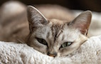 Study Identifies Environmental Risk Factors for Feline Diabetes Mellitus