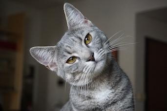 Cat FIP