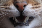 Fluorescent Imaging Technique Reliably Measures Dental Plaque in Cats