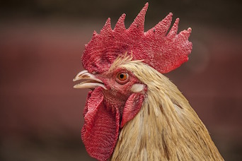 Fecal E  coli from Chickens May Pose Health Risks to Poultry
