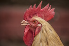Fecal <i>E. coli</i> from Chickens May Pose Health Risks to Poultry and Humans