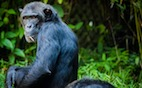 Common Cold Can Kill Healthy Chimpanzees