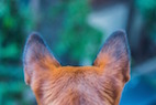 ACVP 2017: Key Features of the Middle Ear in Veterinary Species