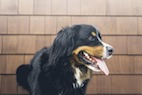 Study Examines Primary Rabies Immunization in Young Dogs