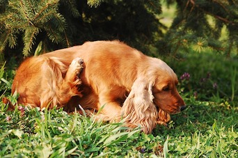 Role of Skin Barrier Dysfunction in Canine Atopic Dermatitis