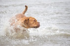Leptospirosis is Becoming a Threat to Canine, Human Health