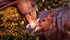 First Live-Attenuated Equine Influenza Vaccine Developed, Tested