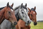 Corticosteroid Therapy for Equine Asthma