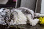 Study Suggests Fatter Cats May Live Longer