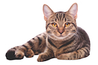 The Risk of Feline Injection-site Sarcoma