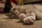 Feline Gastric Dilatation-Volvulus