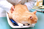 Feline Obesity: The Elephant in the Exam Room