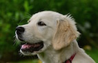 Golden Retriever Lifetime Study Calls for Research Proposals