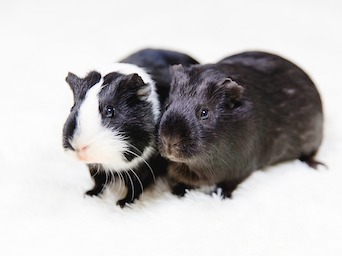 guinea pigs show resistance to rhodococcus equi infection
