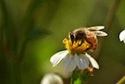 Honey Bees: World's Most Important Species of Pollinator
