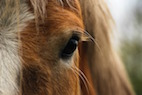 Eye Trouble: Infection Risk After Equine Transpalpebral Enucleation