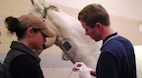 Colic Surgery and Return to Activity in Horses